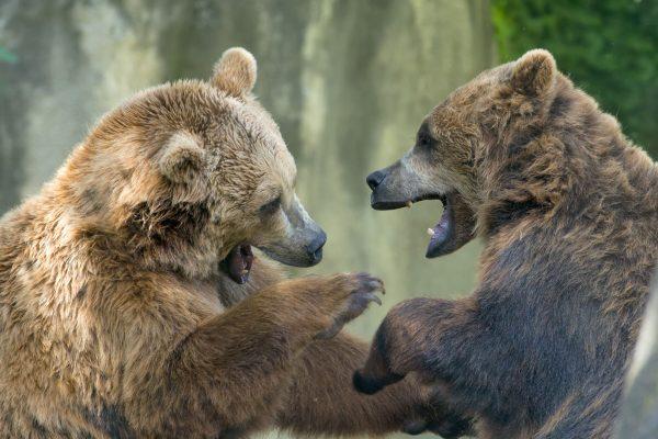 bears-fighting